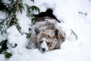 hibernation bear