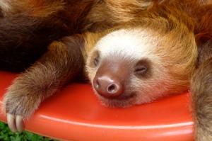 sloth sleep